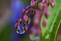 rain droplets - Heavy rainfall overnight left some water droplets behind. Auckland New Zealand, Water Droplets, Rain, Macro Photo, Nature, Flowers, Plants, Canon Eos, Garden