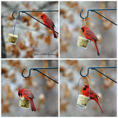 Rebecca's Bird Gardens Blog: DIY Mason - or Jelly Jar - Suet Feeder Northern Male Cardinal