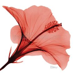Zoom: Red Hibiscus x-ray photography | Great Big Canvas