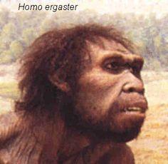 HOMO ERGASTER: Apareció hace unos 1,8 millones de años, y desapareció hace 1,5 millones de años. Los sitios de Homo ergaster se encuentran en Etiopía, Kenia, Tanzania y Eritrea. En 1984 fue descubierto cerca al lago Turkana (Kenia)