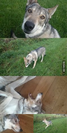 My Saarloos Wolfdog (crossbred of a wolf and a German Shepherd)