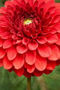 Seattle Red Flower
