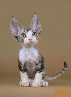 I Love Cats, Crazy Cats, Cool Cats, Pretty Cats, Beautiful Cats, Cute Kittens, Cats And Kittens, Devon Rex Kittens, Cornish Rex Cat
