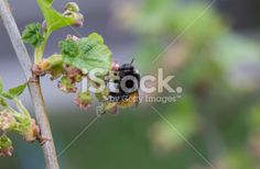 #Bumblebee #Sipping #Nectar From #Red #Currants #Blossom @iStock #istock #ktr14 #nature #macro #spring #Details #bee #insects #animals #garden #flowers #bushes #fruits #outdoor #Austria #carinthia #stock #photo #new #download #highres #portfolio