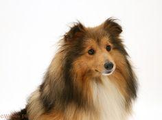 Breed Profile - Shetland Sheepdog - PetParent