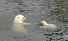 How sweet! A polar bear mom and her cub having fun in the Ranua Zoo, Finland (photo AN) Trips To Lapland, Polar Bears, Finland, Cubs, Have Fun, Mom, Sweet, Summer, Animals