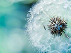 Fluffy Dandelion HD Desktop Wallpaper