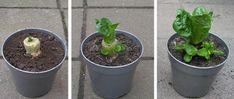 24) Witlof kweken – sjeftuintips Root Vegetables, Growing Vegetables, Compost, Planting Vegetables, Vegetable Gardening, Composters