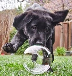 A big bubble to run after. #dogs #pets #BlackLabradorRetrieverPuppies Facebook.com/sodoggonefunny