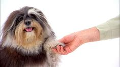 Dogs 101: Havanese : Video : Animal Planet