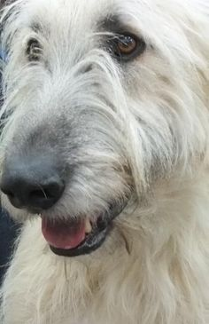 Irish Wolfhound - I really do like the fawn color. <3