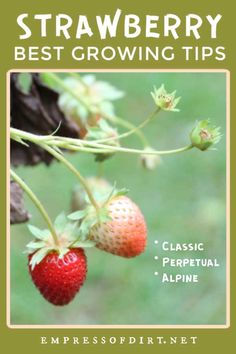 Everything you need to know to grow fresh, delicious strawberries in your home garden or patio.