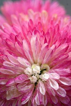 Pink blush chrysanthemum flower in full bloom