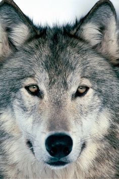 the power of wolves