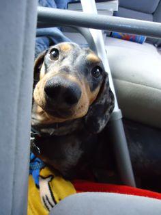 My dachshund puppy Xander (: