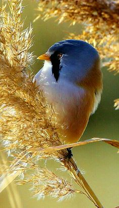 The Bearded Tit or Bearded Reedling (male) lives in wetlands of Europe and Asia. - photo by Richard Collier