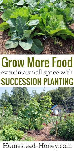 If you have a small garden space then you'll love these 7 ways to grow more food in less space with succession planting. Learn how to maximize food production and grow more food than you thought possible! | Homestead Honey #garden #gardening #smallspacegardening #gardentips #vegetablegardening
