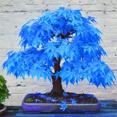 Mystic Blue Maple Bonsai Tree (20 seeds) - Rama Deals
