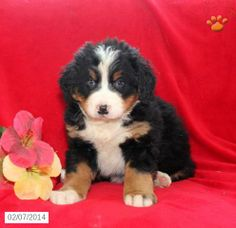 Bernese Mountain Dog Puppy for Sale