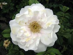 'Blanc Double de Coubert' rose