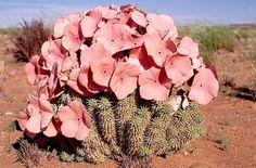 Fig. 9. Hoodia gordonii in flower in the Tanqua Karoo.