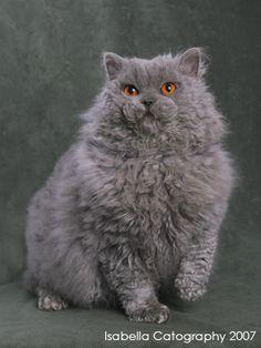 Selkirk Rex, Rex Cat, Adorable Kittens, Cat Boarding, British Shorthair, Warrior Cats, Blue Velvet, Cat Breeds, Cat Love