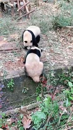 Funny panda videos | hilarious panda videos | funny animals video | hilarious animals video #panda #funny #hilarious Panda Funny, Funny Animal Jokes, Cute Funny Animals, Funny Animal Pictures, Animal Memes, Funny Dogs, Cute Cats, Hilarious Sayings, 9gag Funny