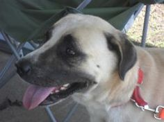 Samson is an adoptable Anatolian Shepherd Dog in Ben Wheeler, TX. Samson (or Sam, as he's known to his friends) came to VZCHS several weeks ago.  He was the victim of a bad home life from which he esc...