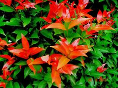 Syzygium campanulatum (Foliage)