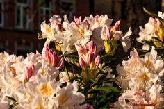 Rhododendron  #Blumen #Germany #Deutschland #Europa #Flowers #Blüte #Natur #Nature #Flickr #Foto #Photo #Fotografie #Photography #canon6d #Travel #Reisen #德國 #照片 #出差旅行