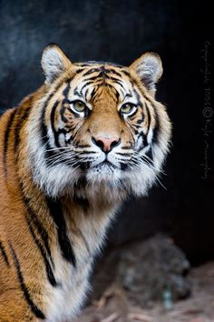 Tiger by ~kaymanism on deviantART