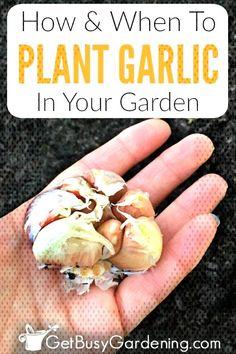 #vegetablegardening #gardening #depending #preparing #including #gardeners #plan... Planting Garlic In Fall, When To Plant Garlic, Rings For Men, Gardening, Plants, Ideas, Men Rings, Lawn And Garden, Plant