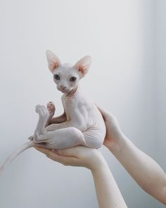 Top 10 des plus beaux chats sphynx ! - Hairless Cat - Ideas of Hairless Cat - Chat Sphynx The post Top 10 des plus beaux chats sphynx ! appeared first on Cat Gig. Animals And Pets, Baby Animals, Funny Animals, Cute Animals, Baby Giraffes, Anime Animals, Wild Animals, I Love Cats, Crazy Cats