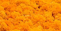 """Flor de Cempasúchitl (""""flor de veinte pétalos"""" en náhuatl).  Tradicional para adornar los altares durante el Día de Muertos."""