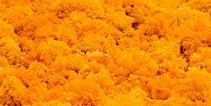 La Flor de Cempasuchil    M�xico Desconocido