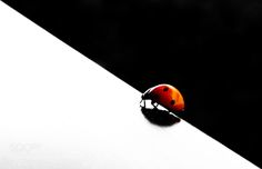 Ladybug by lucamoriconi