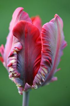 Buy parrot tulip bulbs Tulipa 'Rococo': Delivery by Crocus.co.uk