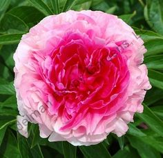 "Deep Pink, full double, lightly fragrant, early, 33"" tall, hybrid. Flower opens deep pink then outer petals fade while the tightly packed in..."