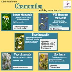 "Chamomiles can be confusing!  Have you ever been puzzled with names of different Chamomile oils? Terms like ""Blue chamomile"" and ""Moroccan Chamomile"" may refer to quite different"
