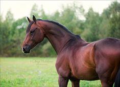 Holstein stallion by Olesya Nickolaeva on 500px