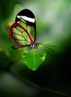 Glasswinged butterfly (Greta oto) by Mustafa Öztürk