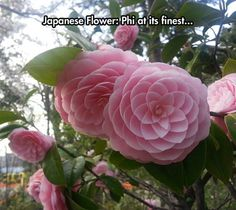 Funny pictures about Camellias Are Beautiful Flowers. Oh, and cool pics about Camellias Are Beautiful Flowers. Also, Camellias Are Beautiful Flowers photos. Exotic Flowers, Beautiful Flowers, Pink Flowers, Cool Flowers, Rare Flowers, Camellia Japonica, Camellia Plant, Color Rosa Claro, Deco Floral