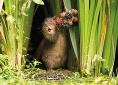 The week in wildlife – in pictures - A water vole snacks on berries – the image titled Berry Brunch, was selected by Countryfile viewe - Medan, Amazing Animals, Cute Animals, Small Animals, Wild Animals, Minions, Berry, Deer Photos, Buy Youtube Subscribers
