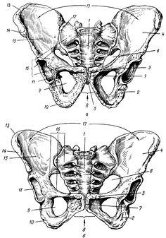 таз анатомія людини - Поиск в Google