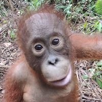 LITTLE VALENTINO : Valentino takes full advantage of daily forest releases with the other infant orangutans. He likes to climb much higher than other infants his age – so high that oftentimes you can only catch glimpses of his bright orange hair glowing in the sun as he swings from branch to branch.