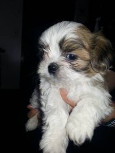 Shih Tzu #ShihTzu  Just exactly like Bentley when he was a baby!!  Could be his twin!!