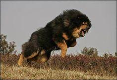 Giant Tibetan Mastiff in Angry Mood Video