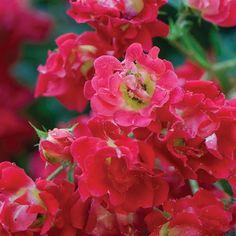 2 Gal. Red Rose