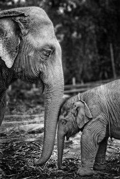 Baby and mother elephant nuzzle. Nature Photograph by Werachai Sookruay.