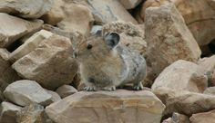 How Global Warming Is Threatening the American Pika